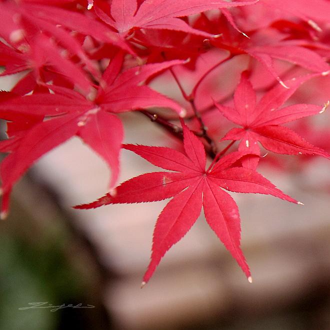 火紅楓葉‧像烈酒‧像深淵【西日本紅葉】詩‧精選